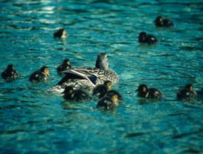 aa_i_12_ducks