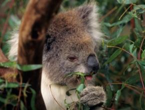 aa_d_18_koala