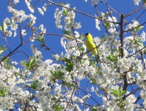 aa_s_01_bird_cherrytree